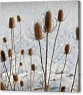 Prairie Seedheads Canvas Print