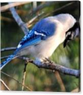 Praying Blue Jay Canvas Print