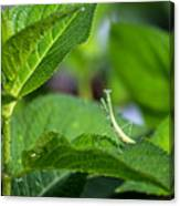 Praying Mantis-2 Canvas Print