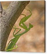 Praying Mantis On The Hunt Canvas Print
