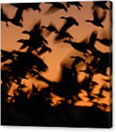 Pre-dawn Flight Of Snow Geese Flock Canvas Print