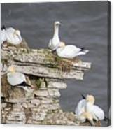 Precarious Nesting Bempton Gannets Canvas Print