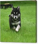 Precious Alusky Puppy Dog Running In A Yard Canvas Print