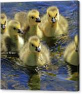 Precious Goslings Canvas Print