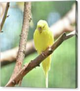 Precious Little Yellow Parakeet In The Wild Canvas Print