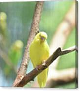 Precious Yellow Budgie Parakeeet In The Wild Canvas Print