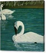 Preening Swans Canvas Print