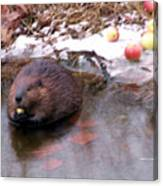 Preparing For Hibernation Canvas Print