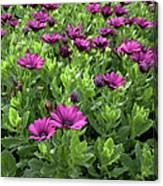 Prescott Park - Portsmouth New Hampshire Osteospermum Flowers Canvas Print