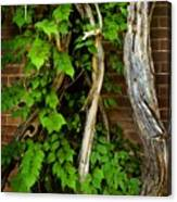 Preston Wall Vine Canvas Print