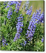 Pretty Blue Flowers Of Silky Lupine Canvas Print