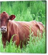 Pretty Brown Cow  Canvas Print