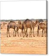 Pretty Camels All In A Row Canvas Print