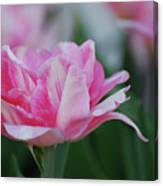 Pretty Candy Striped Pale Pink Tulip In Bloom Canvas Print