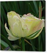 Pretty Cream Colored Tulip Edged In Red With Dew Canvas Print