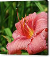 Pretty Flowering Pink Lily In A Garden Canvas Print