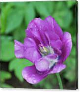 Pretty Flowering Purple Parrot Tulip In A Garden Canvas Print