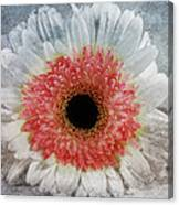 Pretty Gerbera Macro Canvas Print