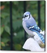 Pretty In Blue Jay Canvas Print