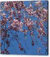 Pretty In Pink - A Flowering Cherry Tree And Blue Spring Sky Canvas Print