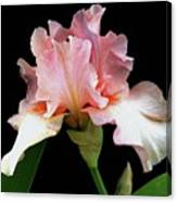 Pretty In Pink - Bearded Iris Canvas Print