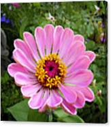 Pretty In Pink Zinnia Canvas Print