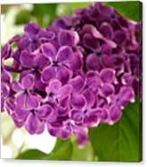 Pretty Lilac Bush Canvas Print