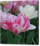 Pretty Pink And White Striped Ruffled Parrot Tulips Canvas Print