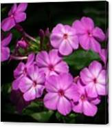 Pretty Pink Phlox  Canvas Print