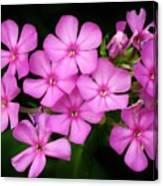 Pretty Pink Prairie Phlox Canvas Print