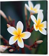 Pretty Plumerias Canvas Print