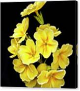 Pretty Primrose Canvas Print