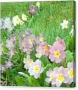 Pretty Primulas 1008 Canvas Print