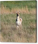 Pretty Pronghorn On The Plains Canvas Print