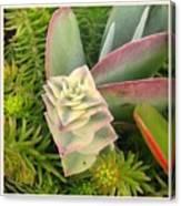Pretty Succulents Canvas Print