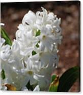 Pretty White Hyacinth Flower Blossom Flowering Canvas Print