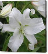 Pretty White Lilies Blooming In A Garden Canvas Print
