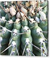Prickly Cactus Canvas Print