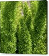 Prickly Green Shrub Canvas Print
