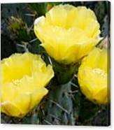 Prickly Pear Cactus Blossoms Canvas Print