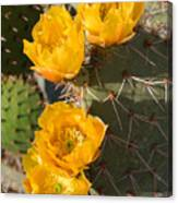Prickly Pear Cactus Flowers Canvas Print