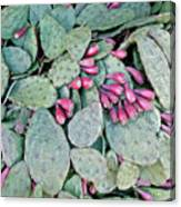 Prickly Pear Cactus Fruits Canvas Print