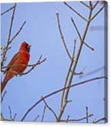 Primary Colours - Northern Cardinal - Cardinalis Cardinalis Canvas Print