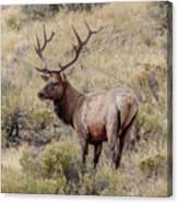 Prize Bull Elk Canvas Print