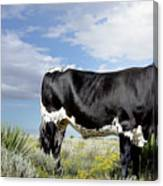 Prized Heiffer, Ojo De La Vaca, New Mexico, August 30, 2016 Canvas Print