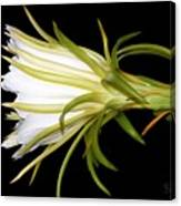 Profile Night Blooming Cereus Canvas Print