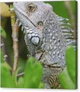 Profile Of A Gray Iguana In The Top Of A Bush Canvas Print