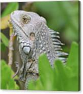 Profile Of A Gray Iguana Perched In A Bush Canvas Print