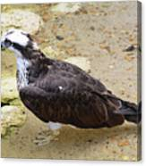 Profile Of An Osprey Bird In The Shallows Canvas Print