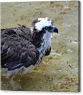 Profile Of An Osprey In Shallow Water Canvas Print